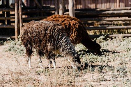 cute fluffy lamas standing on grass outside