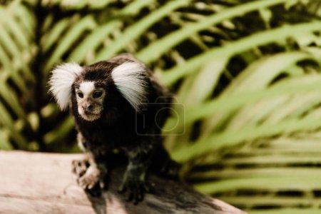 selective focus of marmoset monkey in zoo