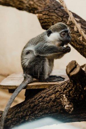 selective focus of cute monkey eating baked potato