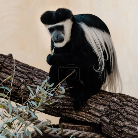 selective focus of black and white monkey sitting on tree near plant