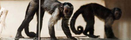 Photo pour Plan panoramique de singes adorables dans le zoo - image libre de droit