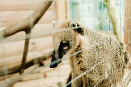 Photo for Selective focus of cute nasua in cage - Royalty Free Image