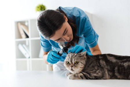 Photo pour Concentrated veterinarian examining ears of tabby scottish straight cat with otoscope - image libre de droit