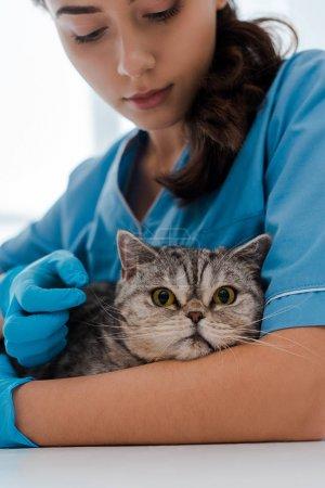 Photo pour Attention vétérinaire examen tabby scottish chat droit - image libre de droit