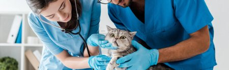 Photo pour Panoramic shot of two attentive veterinarians examining cute scottish straight cat with stethoscope - image libre de droit