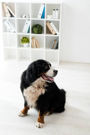 Photo pour Cute bernese mountain dog sitting on floor in veterinary clinic - image libre de droit