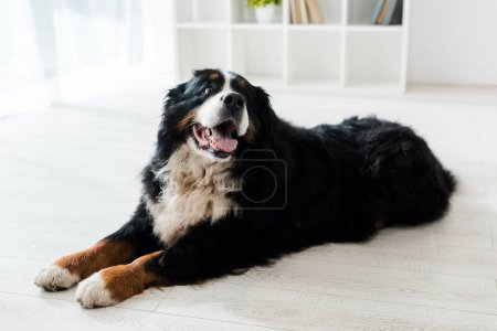 Photo pour Cute bernese mountain dog lying on floor in veterinary clinic - image libre de droit