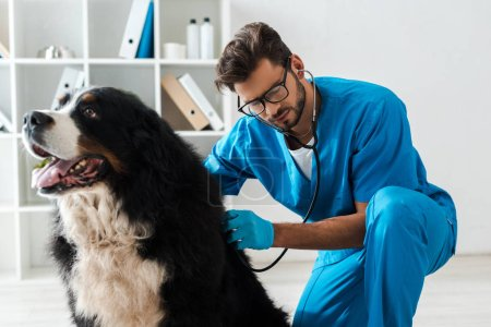 Photo pour Attentive veterinarian examining bernese mountain dog with stethoscope - image libre de droit