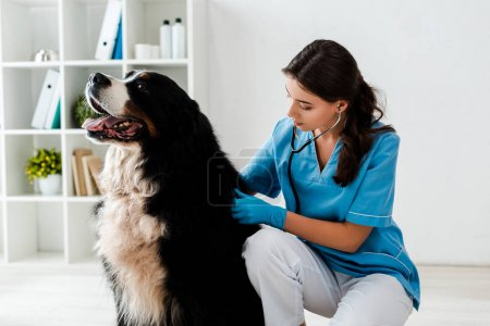 Photo pour Young, attentive veterinarian examining back of bernese mountain dog - image libre de droit