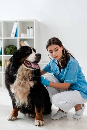 Photo pour Jeune vétérinaire attentif examinant Bernese chien de montagne avec stéthoscope - image libre de droit