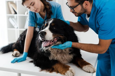 Photo pour Two young veterinarians examining bernese mountain dog lying on table - image libre de droit