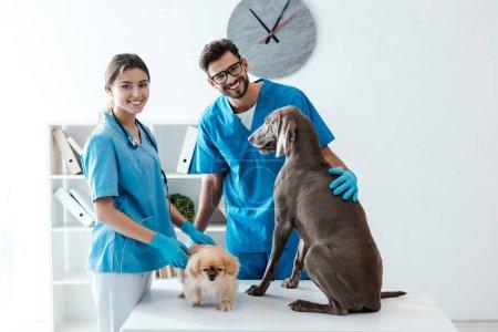 Foto de Dos jóvenes y alegres veterinarios sonriendo a la cámara mientras están de pie cerca de la mesa con perros pekineses y weimaraner - Imagen libre de derechos