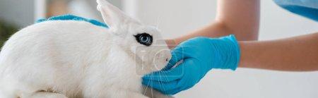 Photo pour Crochet vue d'un vétérinaire dans des gants de latex examen d'un lapin blanc mignon, grenaille panoramique - image libre de droit