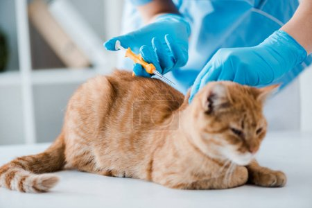 partial view of veterinarian doing implantation of identification microchip to red tabby cat