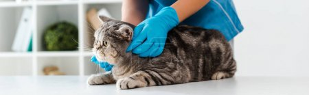 Photo pour Cropped view of veterinarian examining tabby scottish straight cat on table, panoramic shot - image libre de droit