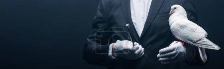 Photo pour Photo panoramique de magicien montrant un truc avec colombe et baguette isolée sur noir - image libre de droit