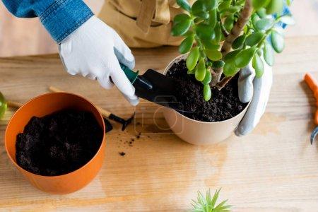 Photo pour Top vue de la femme en gants tenant une petite pelle avec du sol pendant la transplantation de plants - image libre de droit