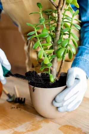 Photo pour Récolté de femme dans des gants tenant la pelle avec le sol lors de la transplantation de la plante - image libre de droit