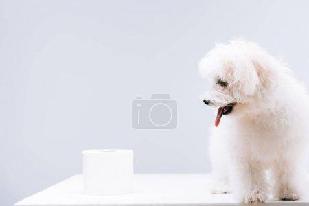 Photo pour Chien havanais près d'un rouleau de papier hygiénique sur une surface blanche isolée sur gris - image libre de droit