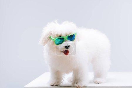 Photo pour Chien havanais de Bichon portant des lunettes de soleil vertes sur surface blanche isolé sur - image libre de droit