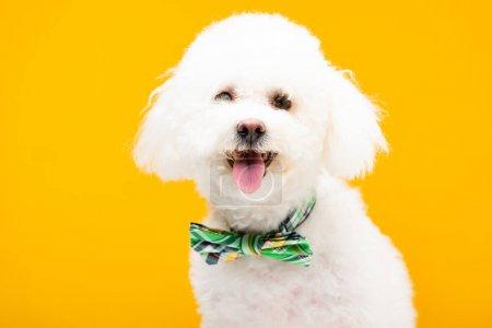 Photo pour Cute bichon chien havanais en noeud papillon regardant la caméra isolée sur jaune - image libre de droit