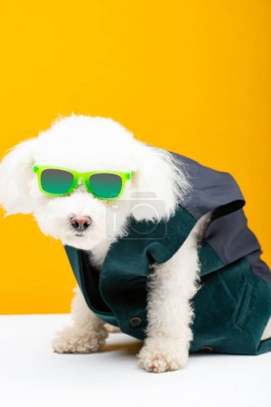 Photo for Bichon havanese dog in waistcoat and sunglasses on white surface isolated on yellow - Royalty Free Image