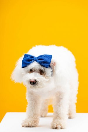 Photo for Havanese dog with blue bow tie on head on white surface isolated on yellow - Royalty Free Image