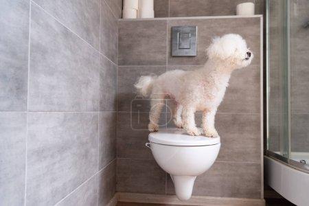 Photo pour Chien Havanais debout sur les toilettes dans la salle de bain - image libre de droit