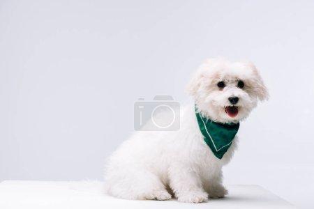 Photo pour Mignon chien havanais en foulard vert sur surface blanche isolé sur gris - image libre de droit