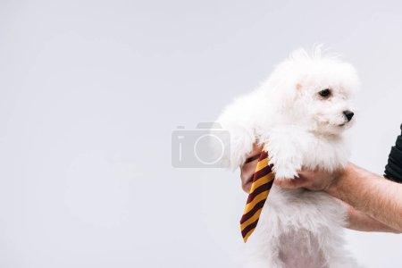 Foto de Vista cruzada del hombre que tiene perro havanés con corbata rayada aislada en gris. - Imagen libre de derechos