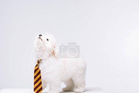 Photo pour Mignon chien havanais rayé cravate regardant vers le haut sur la surface blanche isolé sur gris - image libre de droit