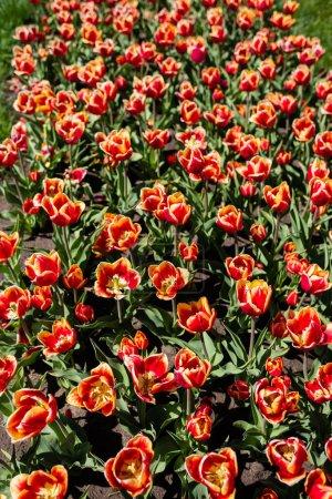 Foto de Hermosos tulipanes rojos y amarillos con hojas verdes. - Imagen libre de derechos