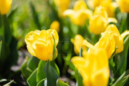 Photo pour Vue rapprochée de belles tulipes jaunes colorées aux feuilles vertes - image libre de droit