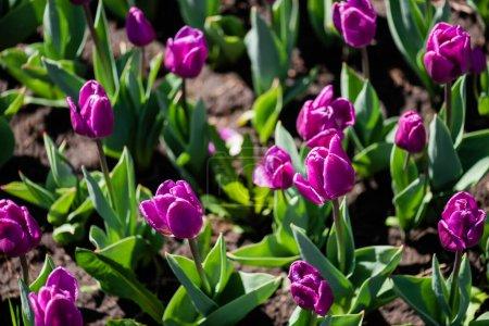Photo pour Belles tulipes violettes colorées aux feuilles vertes - image libre de droit