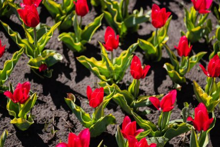 Photo for Beautiful red colorful tulips with green leaves - Royalty Free Image