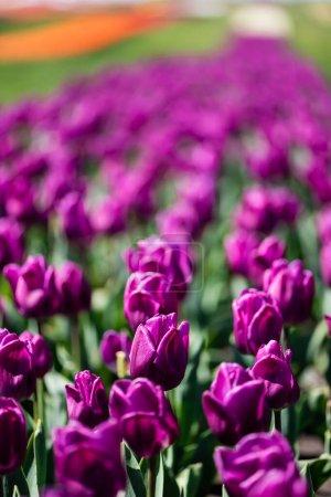 Photo pour Foyer sélectif de belles tulipes violettes colorées avec des feuilles vertes - image libre de droit