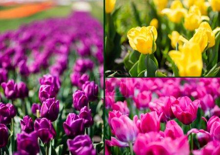 Photo pour Collage de belles tulipes violettes, roses et jaunes colorées aux feuilles vertes - image libre de droit