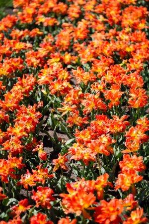 Photo pour Belles tulipes orange colorées aux feuilles vertes - image libre de droit