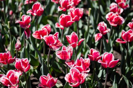 Photo for Beautiful pink and white tulips with green leaves - Royalty Free Image