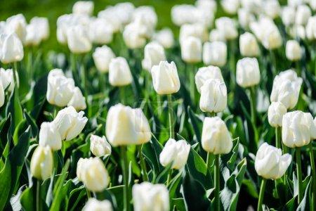 Photo pour Foyer sélectif de belles tulipes blanches aux feuilles vertes - image libre de droit