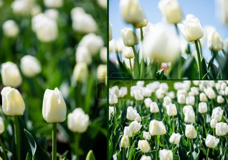 Photo for Collage of beautiful white tulips with green leaves - Royalty Free Image