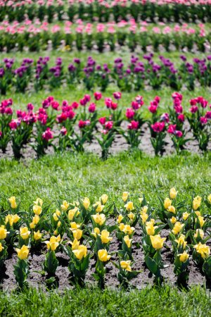 Photo for Selective focus of colorful tulips field with green grass - Royalty Free Image