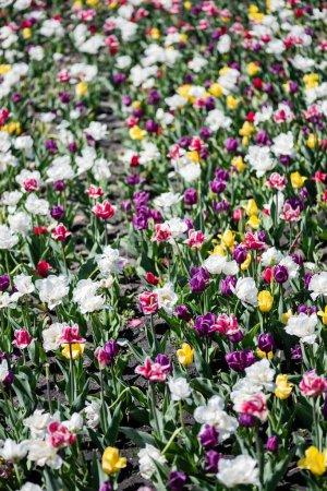 Photo pour Beau champ de tulipes colorées en journée - image libre de droit