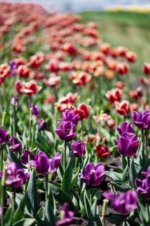 Photo for Selective focus of beautiful red and purple tulips at daytime - Royalty Free Image