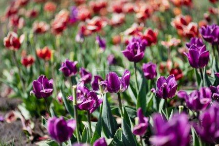 Photo pour Foyer sélectif de belles tulipes rouges et violettes le jour - image libre de droit