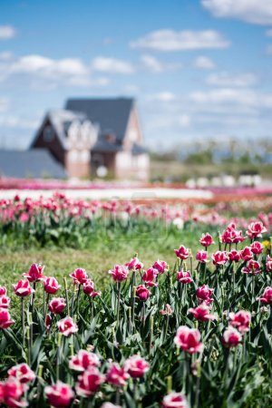 Photo for Selective focus of house and pink tulips in field - Royalty Free Image