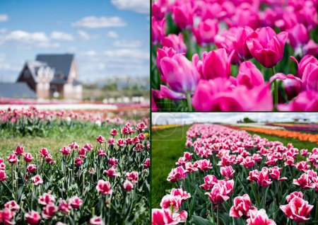 Photo for Selective focus of house and pink tulips in field, collage - Royalty Free Image