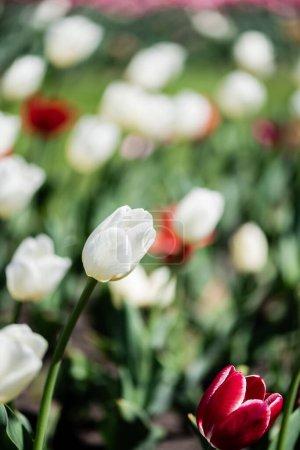 Photo pour Foyer sélectif de belles tulipes rouges et blanches aux feuilles vertes - image libre de droit