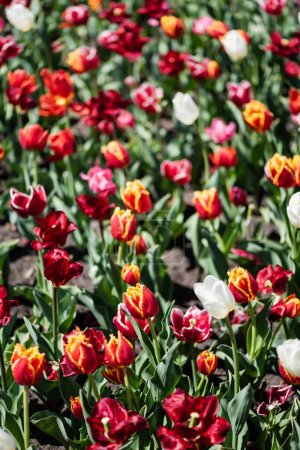 Photo for Selective focus of beautiful colorful tulips with green leaves in sunlight - Royalty Free Image