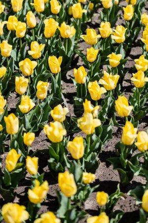 Photo pour Mise au point sélective de belles tulipes jaunes avec des feuilles vertes au soleil - image libre de droit